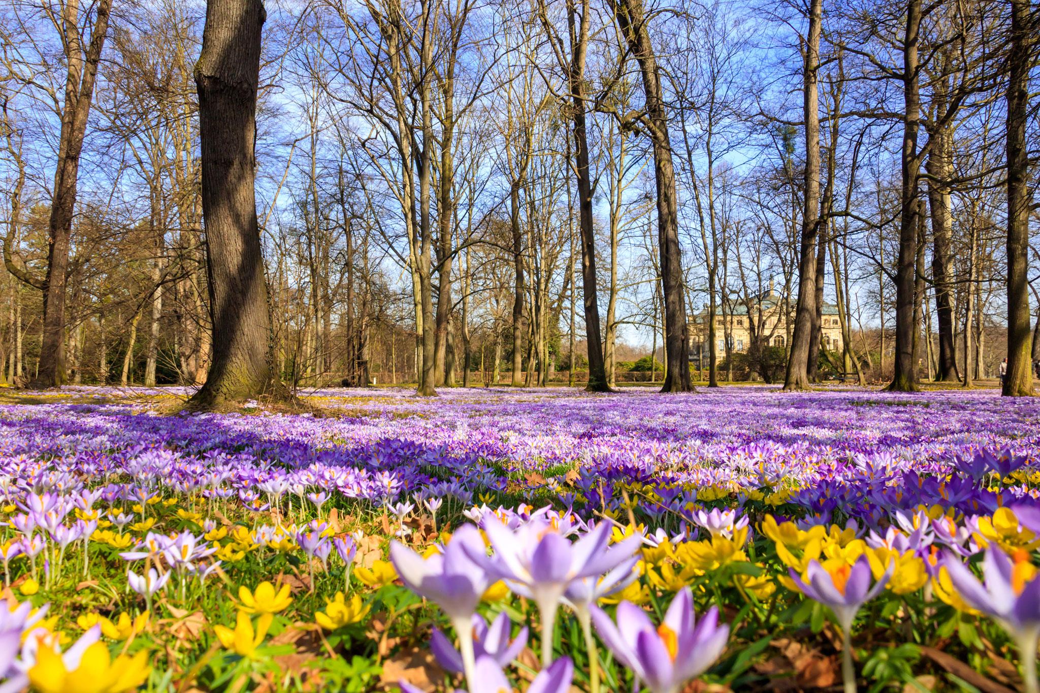 Frühblüher • Großer Garten, Dresden